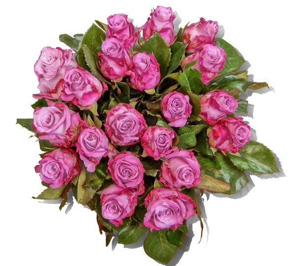 Rosen lila